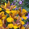 Iris Bronze Perfection (Dutch Iris)