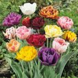 Tulip Double Late Mixed 11/12cm