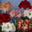 Amaryllis Mixed