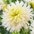 Dahlia Ice Crystal
