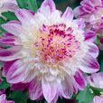 Dahlia Anemone Flowering Collection