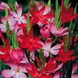 Schizostylis Mixed