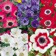 Anemone - De Caen Collection