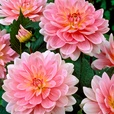 Dahlia Water Lily Collection