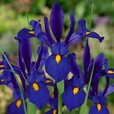 Iris Blue Pearl (Dutch Iris)