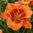 Hemerocallis - Giant Flowered Collection
