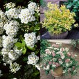 Spiraea Collection