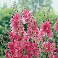 Verbascum phoenicum Collection