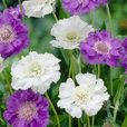 Scabiosa Perfecta Collection