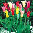 Tulip Lily Flowering Mixed 11/12cm