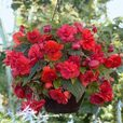 Begonia Odorata Red Glory (Exhibition Size)