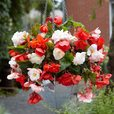 Begonia Fragrant Odorata Collection (Trailing)