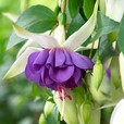 Fuchsia Blue Angel (Trailing)
