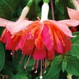 Fuchsia Giant Marbeller Orange King (Trailing)