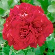 Geranium Double Trailing Red