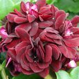 Geranium Double Trailing Black