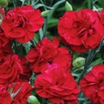 Dianthus Scent First Passion