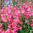 Penstemon Ice Cream Sweet Cherry