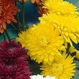 Chrysanthemum Mid Spray Collection