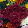 Chrysanthemum Late Spray Collection