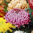 Chrysanthemum Bloom (Incurve)