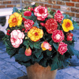 Mixed Begonia Collection