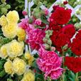 Hollyhocks Double Collection (Alcea)