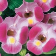 Torenia Rose Moon