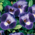 Torenia Purple Moon