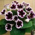 Gloxinia Complete Collection