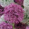 Allium - Giant Partner Collection