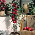 Miniature Patio Fruit Trees Collection