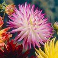 Dahlia Large Flowering Cactus Collection