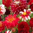 Dahlia Blend Red Mixed