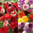Dahlia Complete Blend Collection