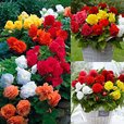 Begonia Complete Patio Collection