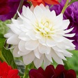 Dahlia Decorative Collection