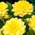 Dahlia Water Lily Yellow