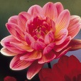 Dahlia Water Lily Dark Rose