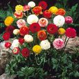 Ranunculus Tomer Mixed
