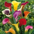 Calla Lilies Mixed Exhibition 16cm+