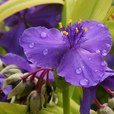 Tradescantia Sweet Kate
