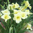Hemerocallis Fragrant Returns