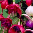 Fuchsia Hardy Mixed