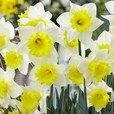 Narcissi Cornish King