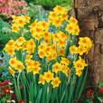 Narcissi Falconet