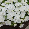 Calibrachoa Double Can Can White