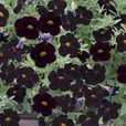Calibrachoa 'Black Cherry'