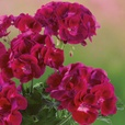 Geranium Grandeur Power Burgundy