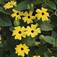 Thunbergia alata Lemon Star